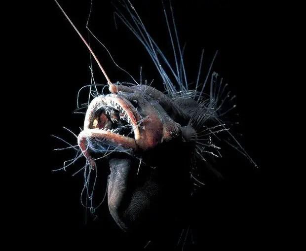 Fotograf'ia de un fanfin, uno de los más temibles seres de las profundidades.