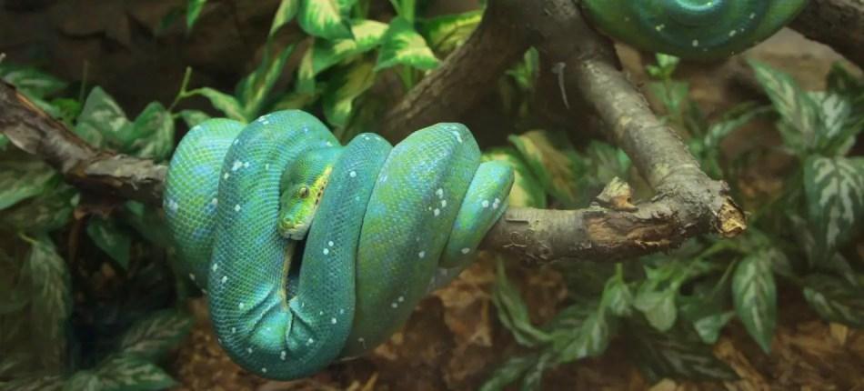 Serpiente constrictora del trópico.