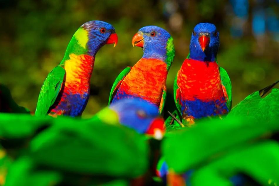 Fotografía de un grupo de loros arcoirís, uno de los animales más coloridos de la naturaleza.