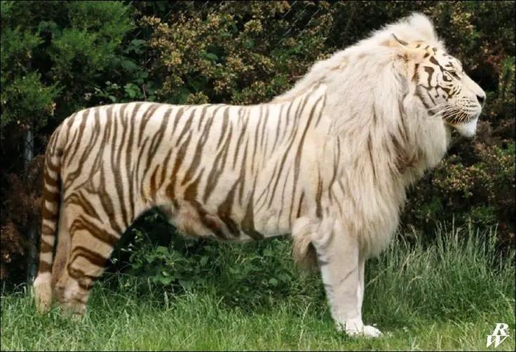 Fotografía de un híbrido de tigre y león.