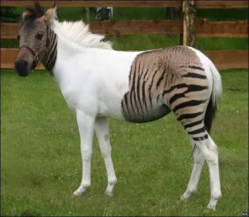 Fotografía de un zebroide.