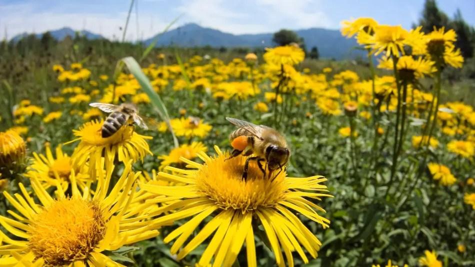 Abejas recolectando polen.