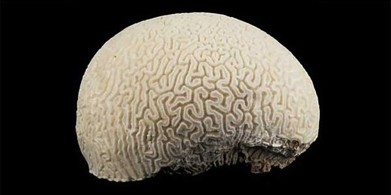 El coral cerebro, el animal marino con forma de un cerebro humano