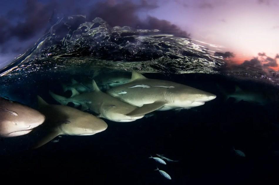 Fotografías de tiburones limón.