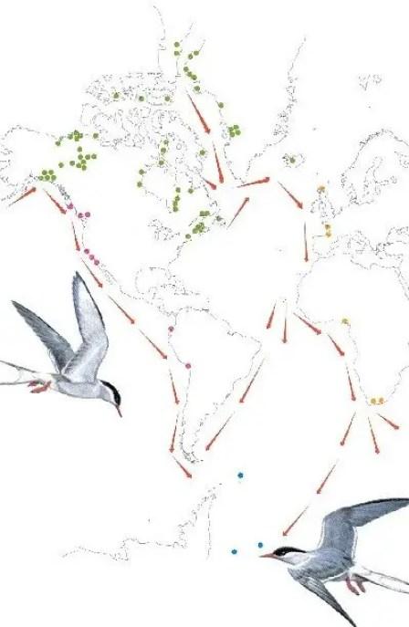 Ruta del viaje migratorio del gaviotín del ártico.