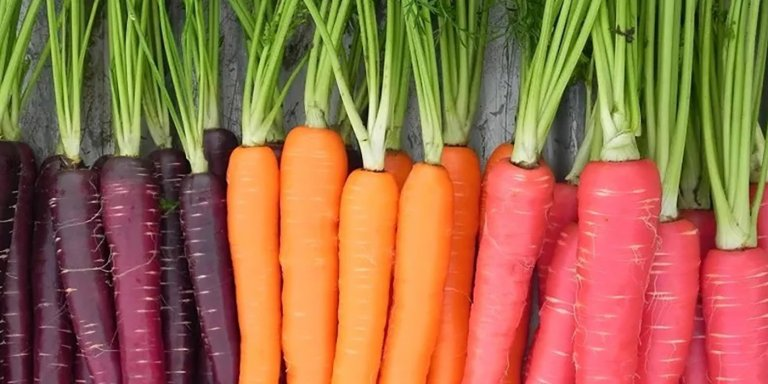 Variedad de zanahorias de distintos colores.