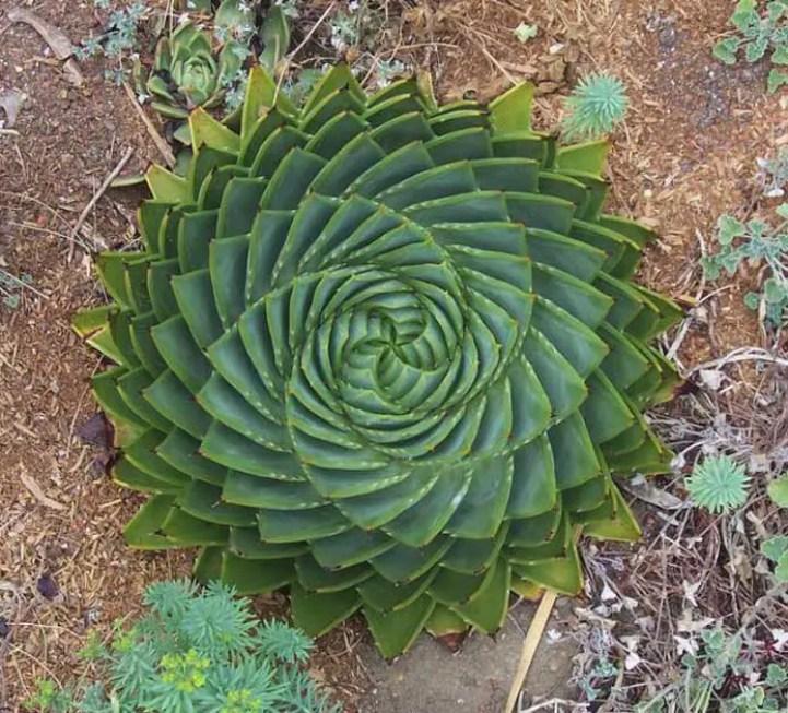Fotografía de la parte superior de un áloe espiral.