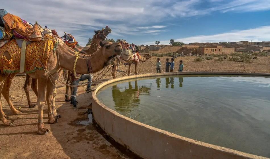 Camellos tomando agua de un oasis artificial.