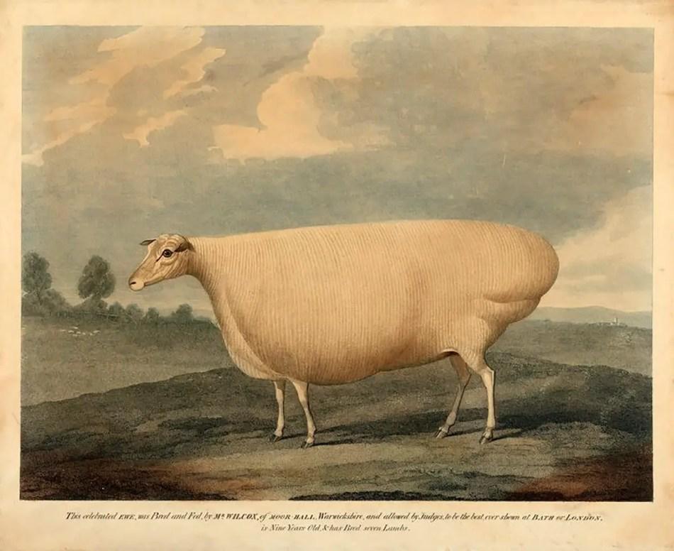 Grabado de una oveja extremadamente grande.