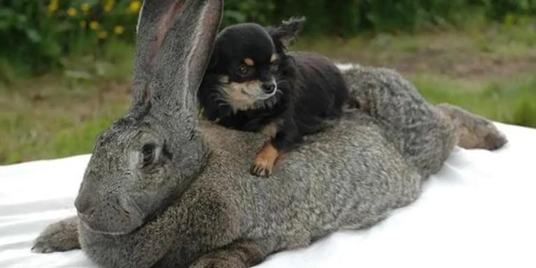 Conejo gigante comparado a un pequeño perro.