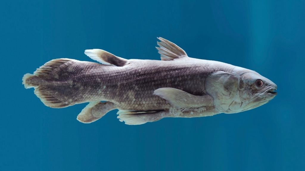 Un celacanto nadando de lado.