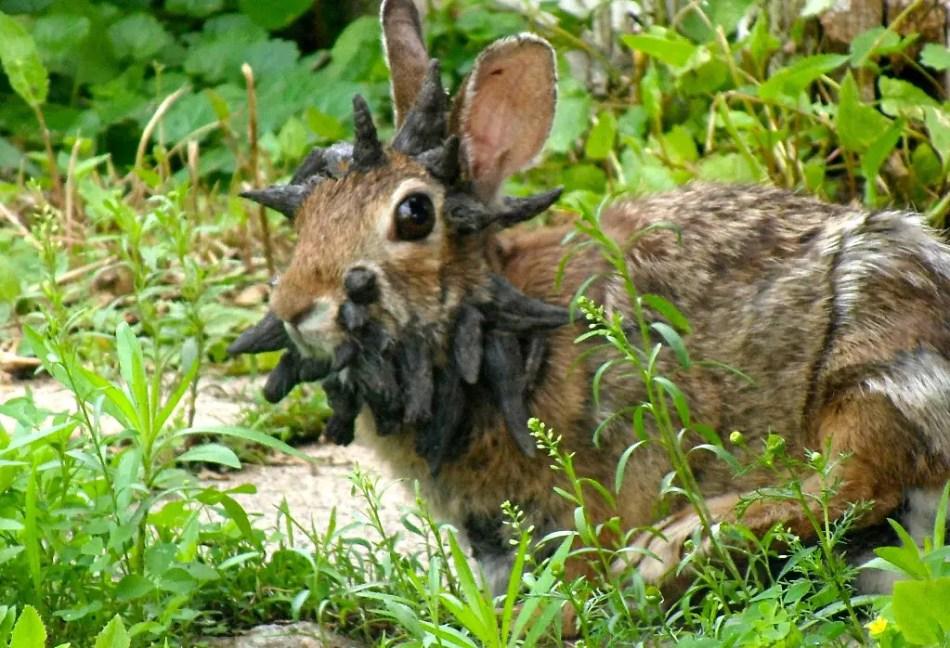 Los efectos del papillomavirus en un conejo silvestre. Este virus originó la creencia de los conejos cornudos.
