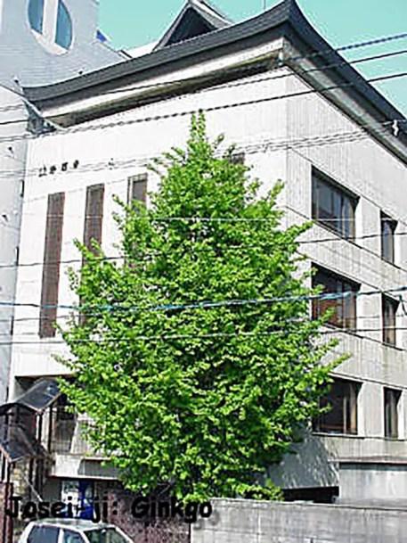 Otro de los Hosen-ji, el árbol que logró sobrevivir a la bomba atómica.
