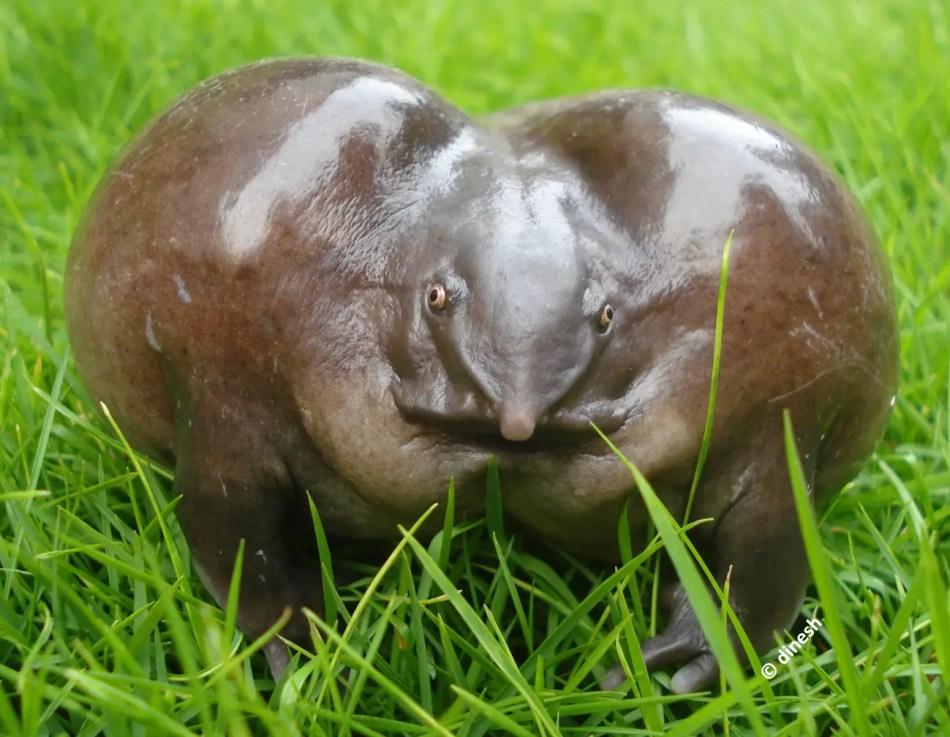 Fotografía frontal de un Nasikabatrachus donde se aprecia su particular nariz.