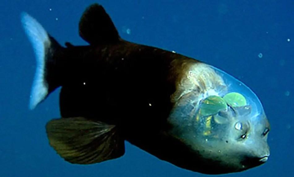 Pez Duende, uno de los más asombrosos animales transparentes.