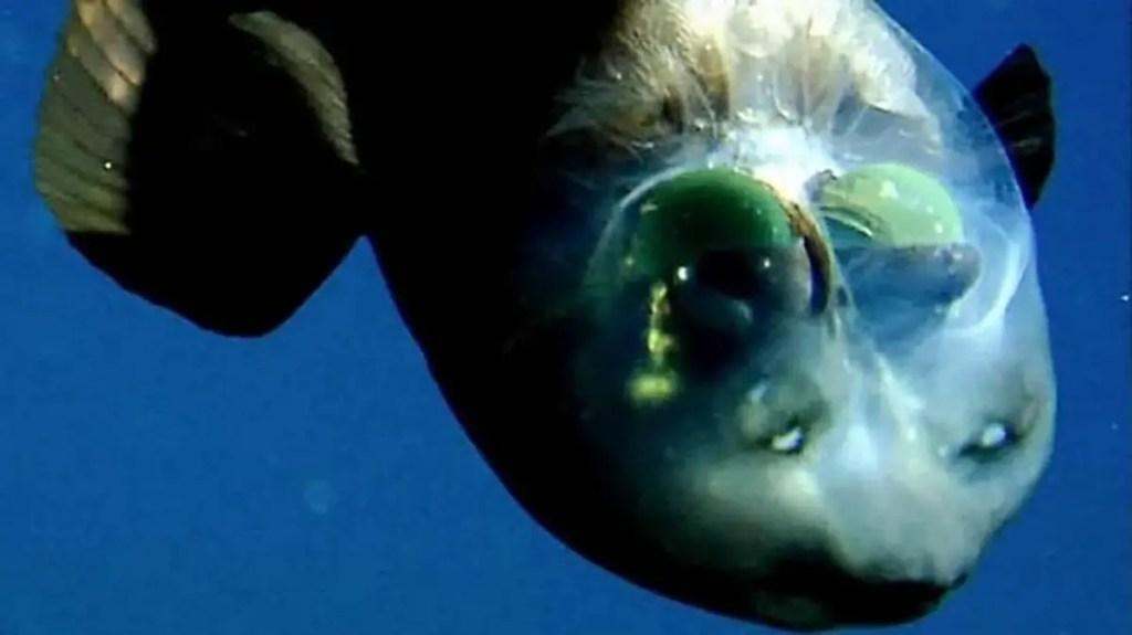 Vista superior de la cabeza transparente de un pez duende o Macropinna microstoma.