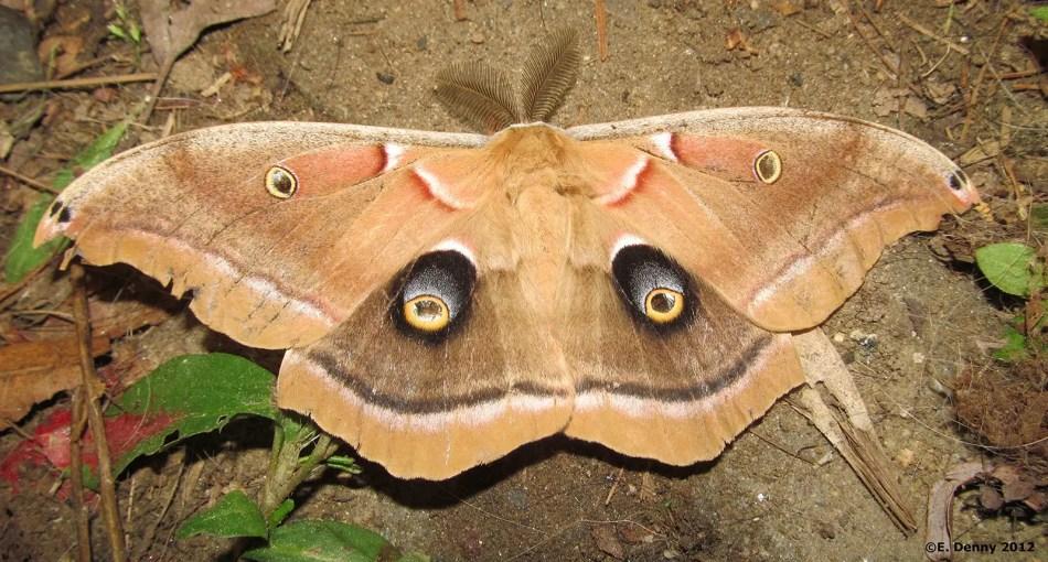 La polilla Antheraea polyphemus.