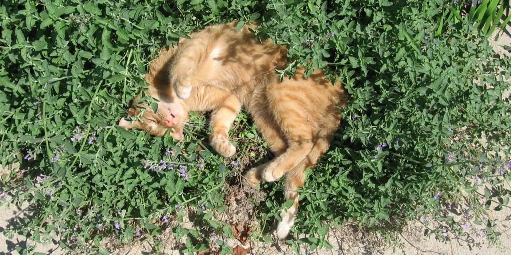 Un gato hogareño frotando su cuerpo en una planta de nébeda.