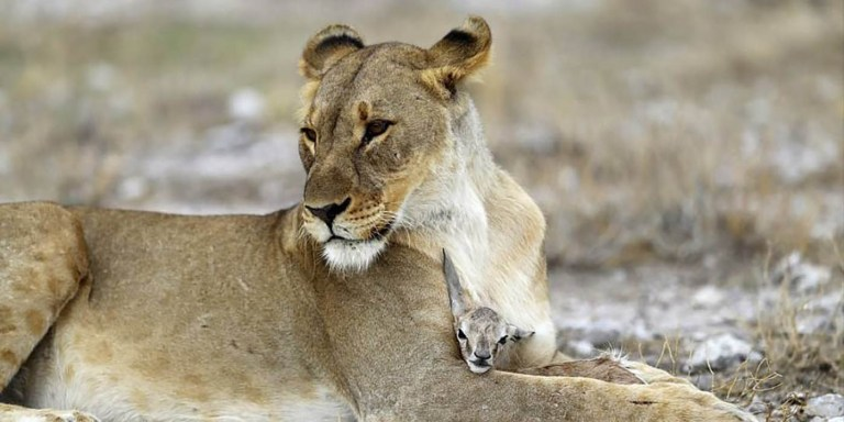 Adopción animal, los animales que adoptaron crías de otras especies