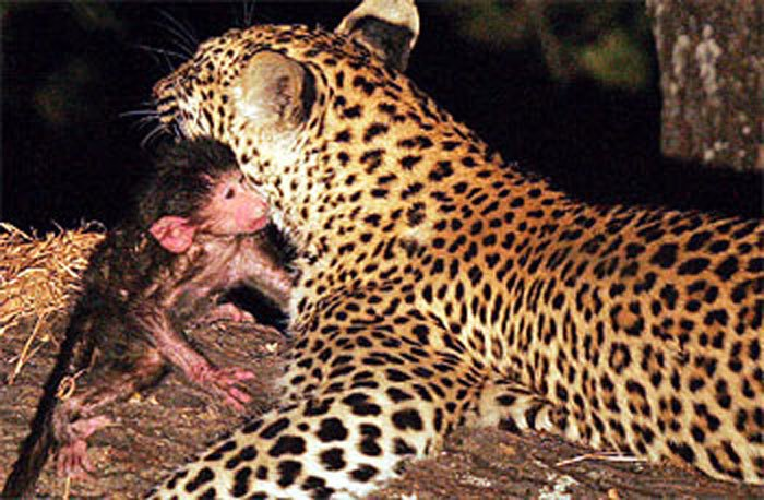 La madre leopardo que adoptó a un monito.