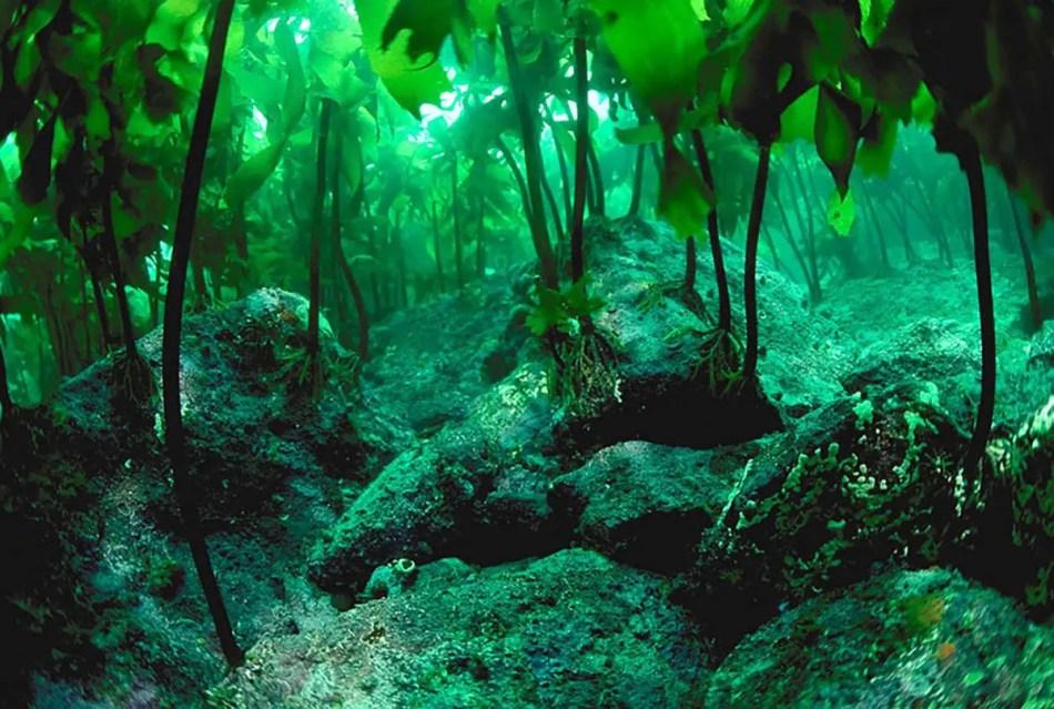 Detalle de las raíces de las algas laminariales.