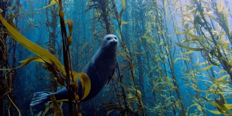 Los asombrosos bosques submarinos de gigantescas algas laminariales