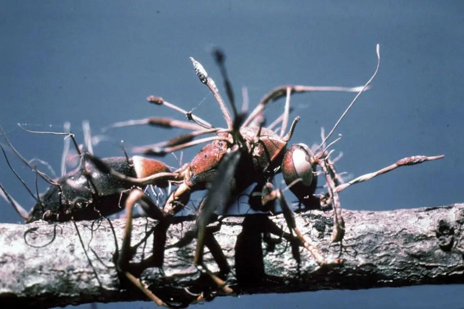 Una hormiga dominada y aniquilada por el hongo endoparasitario que la infectó.