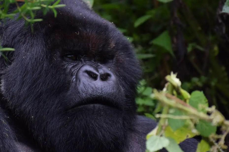 Detalle del rostro de un gorila espalda plateada.