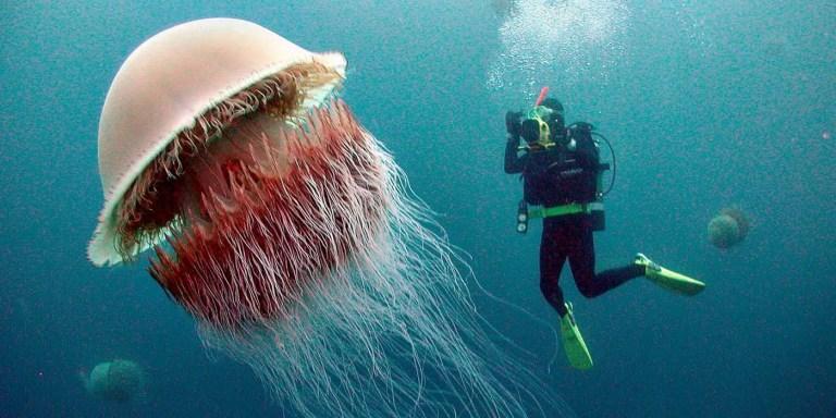Un buzo fotografiando a una nomura, las medusas gigantes que invaden Japón.