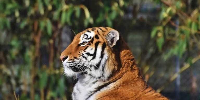 Tigre de bengala descansando.