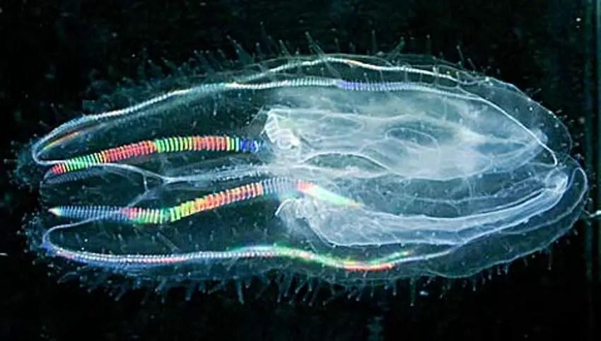 Medusa neon de Tasmania, uno de los animales bioluminiscentes más asombrosos de todos.