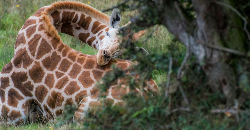 La singular manera de dormir de las jirafas.