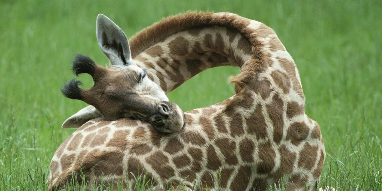 El singular y milenario misterio científico sobre si las jirafas dormían o no