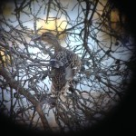 Gräsandshona flyger upp i talltopp för att undkomma överpilska hanar