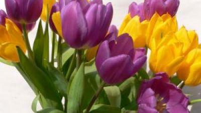 494953_tulips