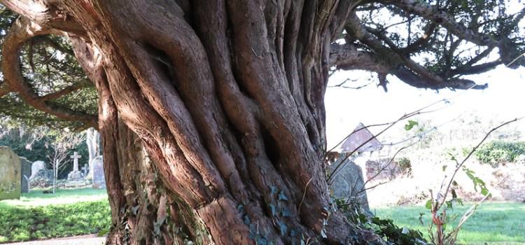 Dawlish Churchyard Yew
