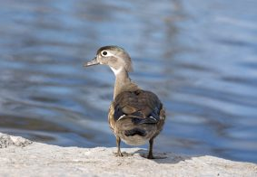 Female adult wood duck standing on a rock near a lake.