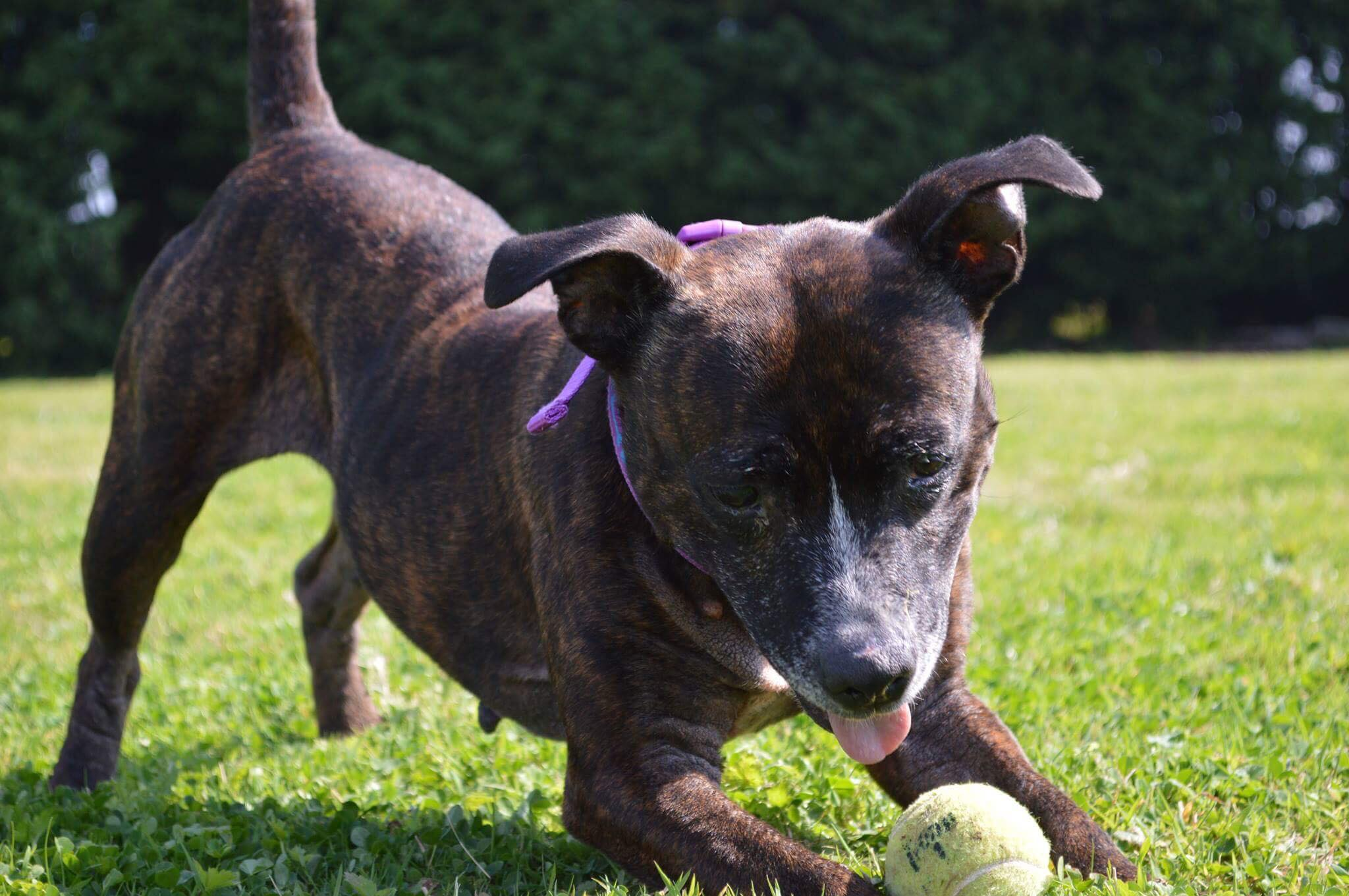 Dog With Ball On The Grass
