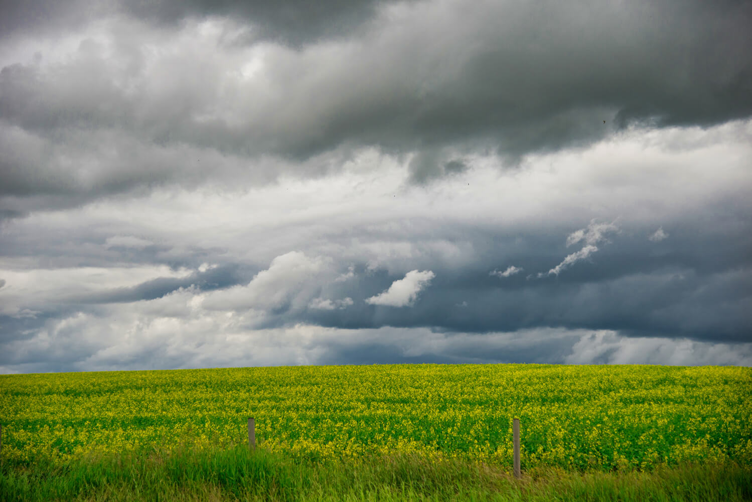 Storm Over the Canola