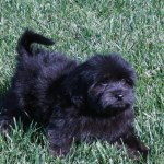 California Havanese Puppies Available Angie S Havanese Puppies