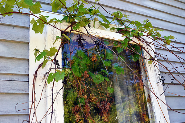 Grape Vine Growing Into The Storm Window