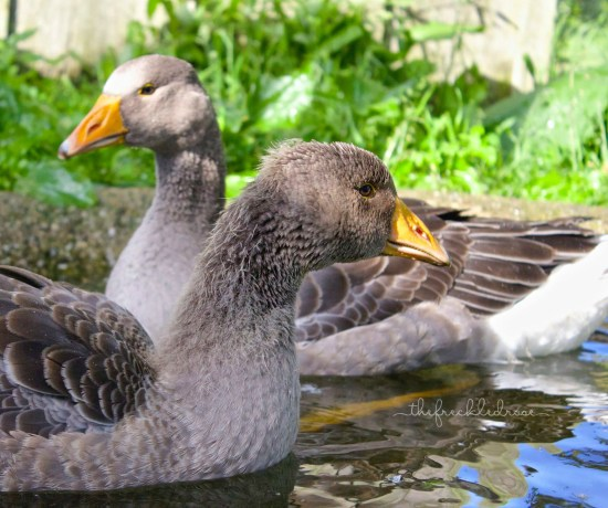 Raising Toulouse Geese