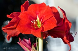 Red Lion amaryllis grown winter 2014