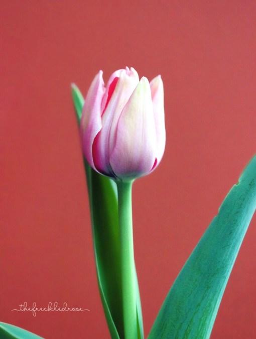Forced indoor tulip bulbs spring 2015