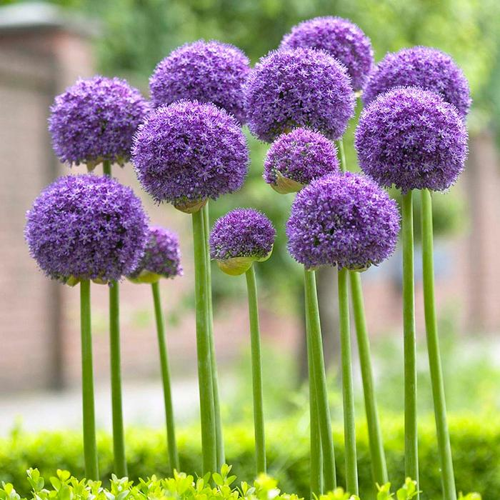 A Beginner's Guide To Alliums