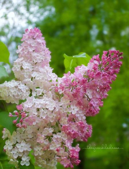 My Top 5 Spring Garden Blooms | angiethefreckledrose.com