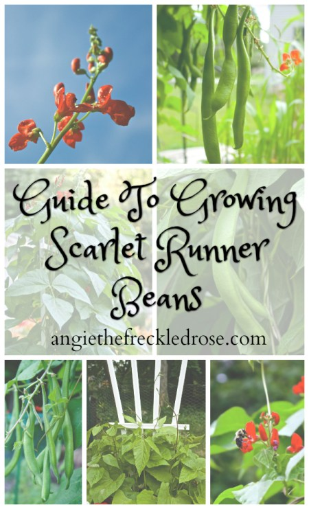 Guide To Growing Scarlet Runner Beans | angiethefreckledrose.com