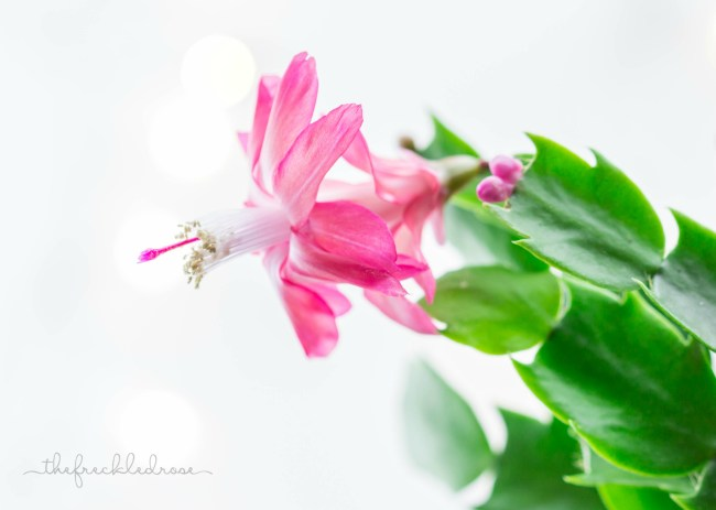 Christmas Cactus Bloom by @thefreckledrose