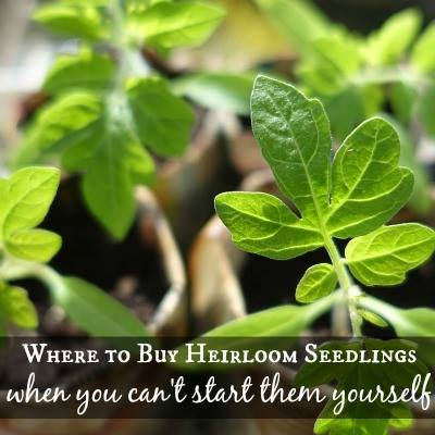 Where To Buy Heirloom Seedlings - SimplifyLiveLove