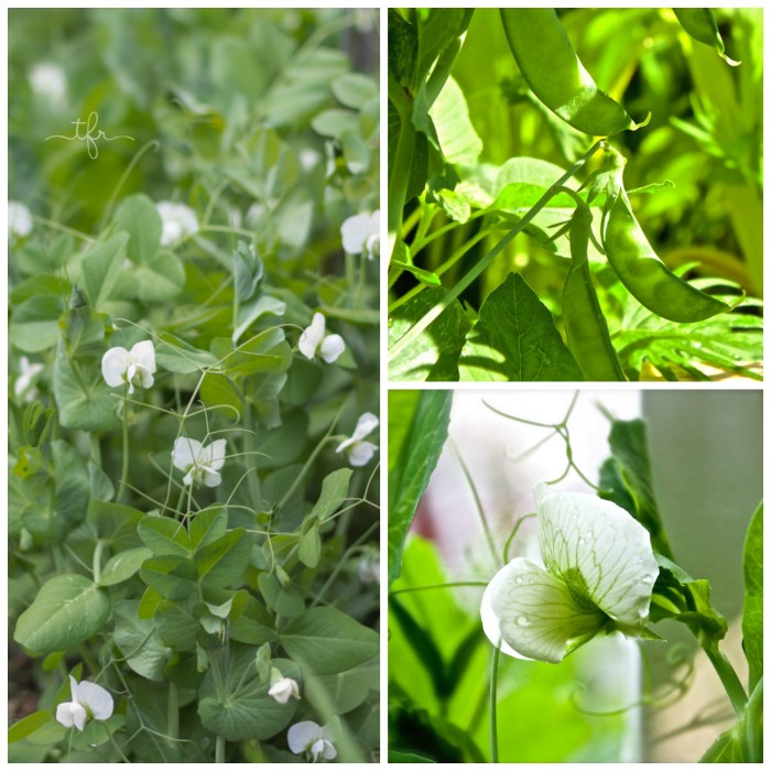 Are you thinking of growing peas this spring? Do you have a favorite kind of pea you like to grow? Tell me all about it in the comment section below. The next edition of Tuesdays In The Garden will be April 11, and we will be sharing with you our favorite garden tools. See you then!